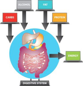 Resting metabolic rate (digestive system and energy process)